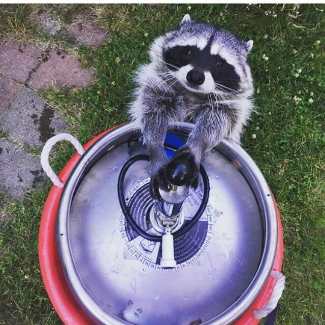 May I pour you a beer? @raccoonproblems